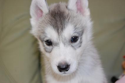 シベリアンハスキーの子犬の写真201007315