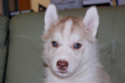 シベリアンハスキーの子犬の写真201011182