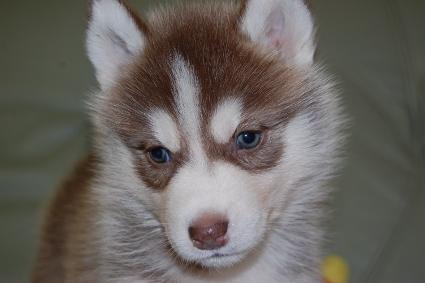 シベリアンハスキーの子犬の写真201011236