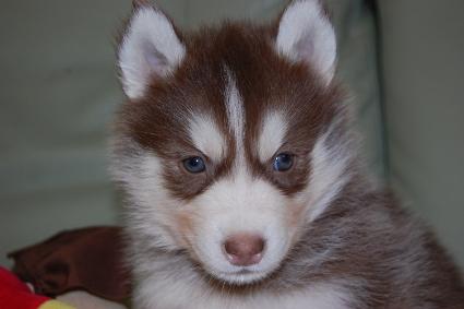 シベリアンハスキーの子犬の写真201011232