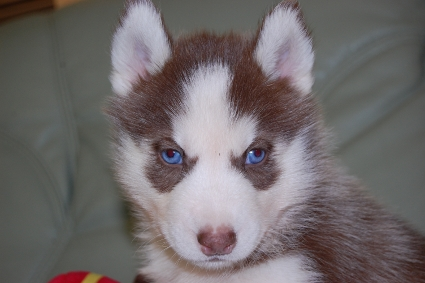 シベリアンハスキーの子犬の写真201011234