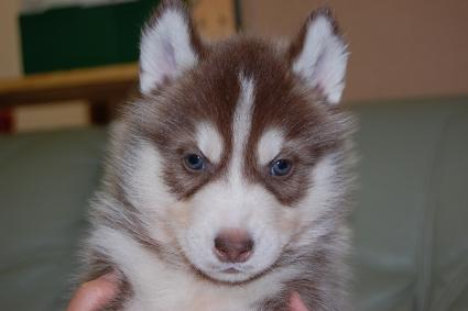 シベリアンハスキーの子犬の写真201011231