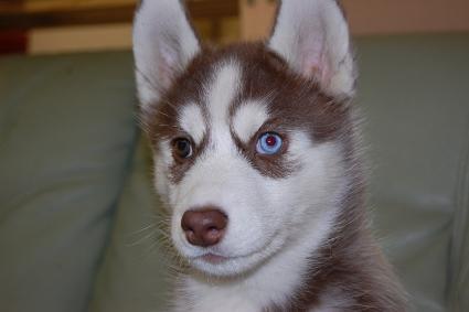 シベリアンハスキーの子犬の写真201011237