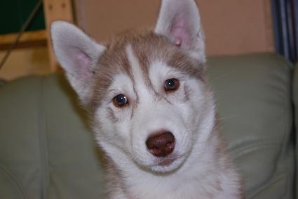 シベリアンハスキーの子犬の写真201011181