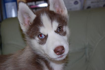 シベリアンハスキーの子犬の写真201011233