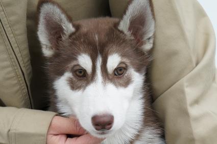 シベリアンハスキーの子犬の写真201011235