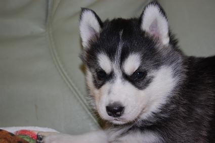 シベリアンハスキーの子犬の写真201103052