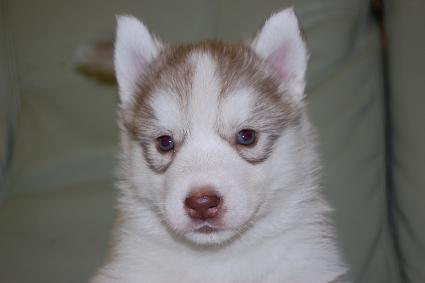 シベリアンハスキーの子犬の写真201103053