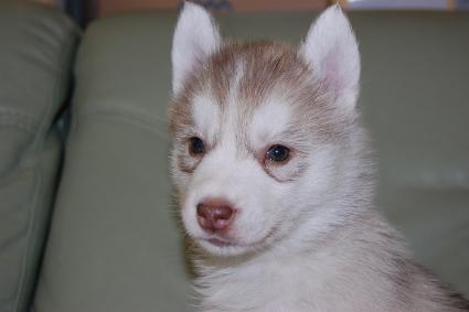 シベリアンハスキーの子犬の写真201103054