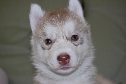 シベリアンハスキーの子犬の写真201103055