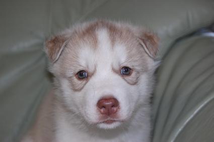 シベリアンハスキーの子犬の写真2