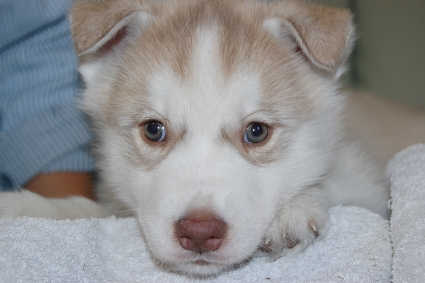 シベリアンハスキーの子犬の写真201111042