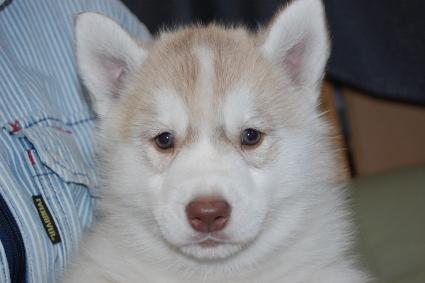 シベリアンハスキーの子犬の写真201111041