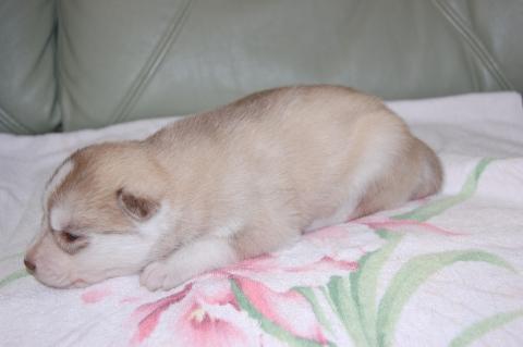シベリアンハスキーの子犬の写真201202225-2