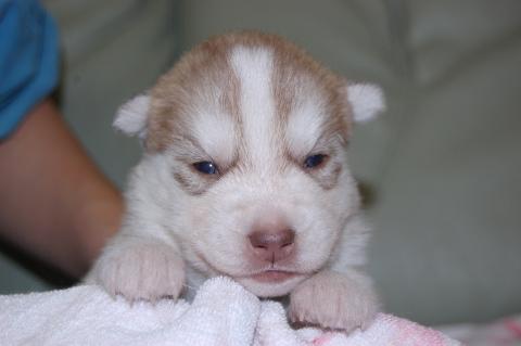 シベリアンハスキーの子犬の写真201202225