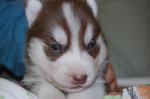 シベリアンハスキーの子犬の写真201202222