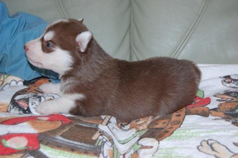 シベリアンハスキーの子犬の写真201202222-2