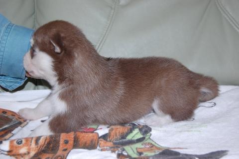 シベリアンハスキーの子犬の写真201202223-2