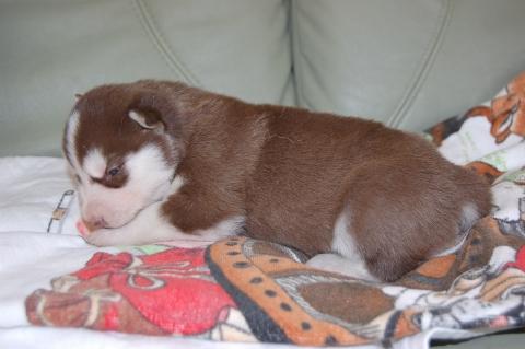 シベリアンハスキーの子犬の写真201203012-2