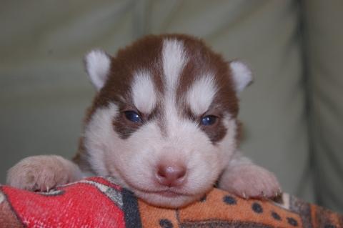 シベリアンハスキーの子犬の写真201203015