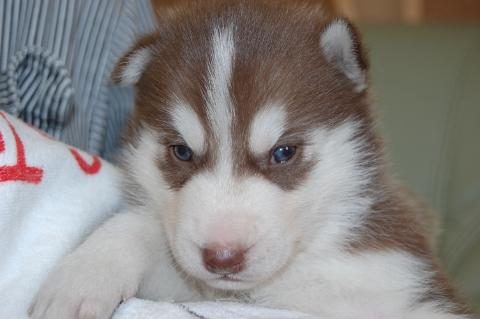 シベリアンハスキーの子犬の写真
