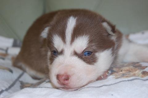 シベリアンハスキーの子犬の写真201203012