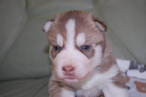 シベリアンハスキーの子犬の写真201203013