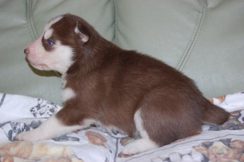 シベリアンハスキーの子犬の写真201203014-2