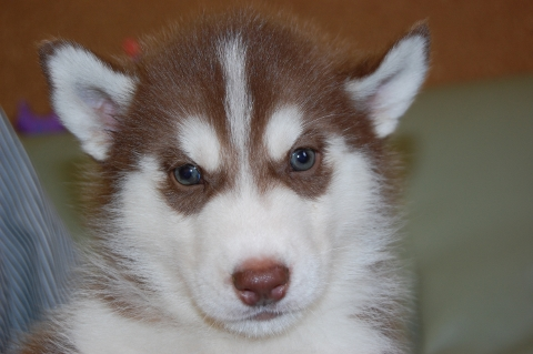 シベリアンハスキーの子犬の写真201202223