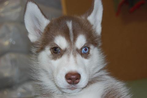 シベリアンハスキーの子犬の写真201202226
