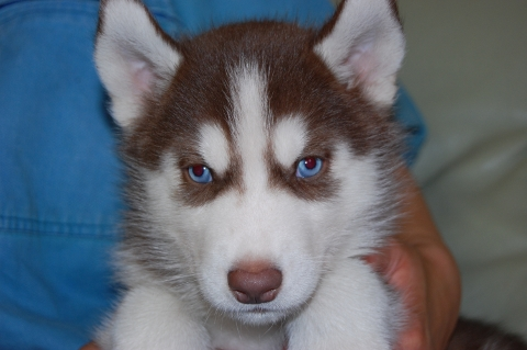 シベリアンハスキーの子犬の写真201203014