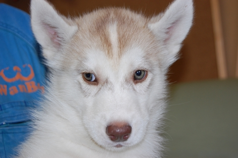 シベリアンハスキーの子犬の写真201202221