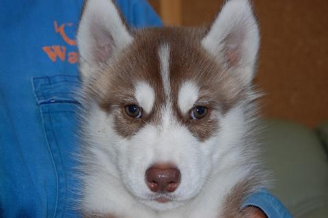 シベリアンハスキーの子犬の写真201203011