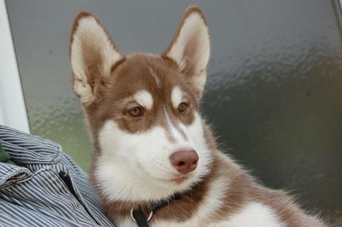 シベリアンハスキーの子犬の写真201202224