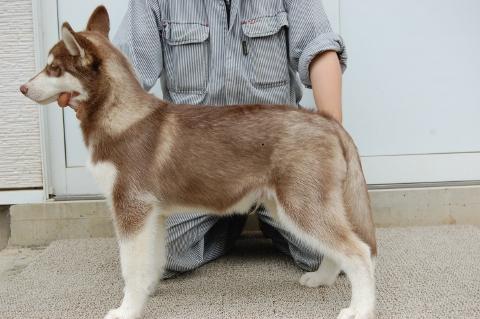 シベリアンハスキーの子犬の写真201202224-2