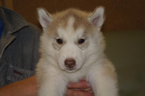 シベリアンハスキーの子犬の写真201208201