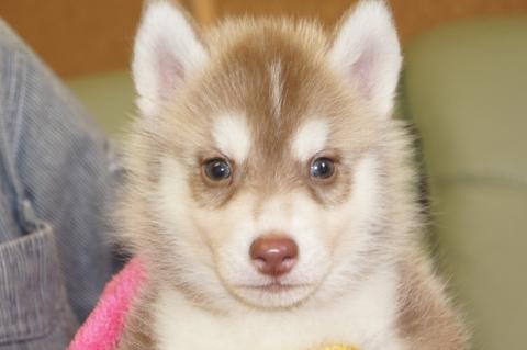 シベリアンハスキーの子犬の写真201208241