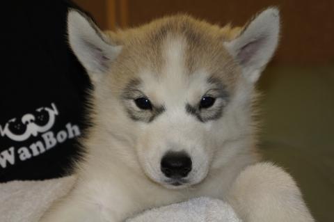 シベリアンハスキーの子犬の写真201208202