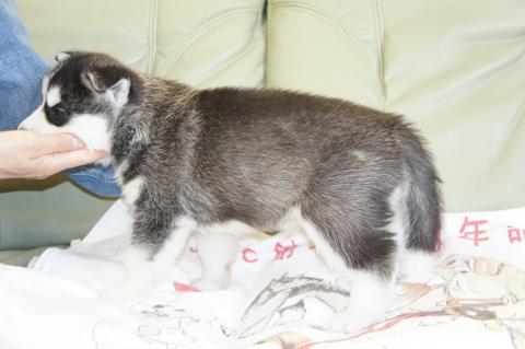 シベリアンハスキーの子犬の写真201212311-2
