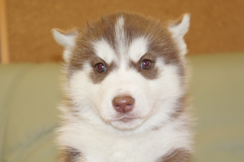 シベリアンハスキーの子犬の写真201212311