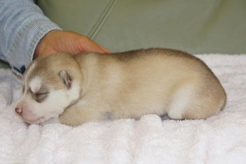 シベリアンハスキーの子犬の写真201303182-2