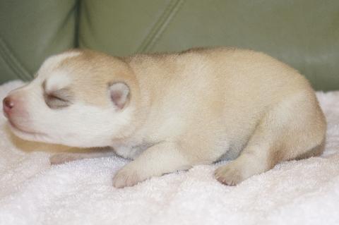 シベリアンハスキーの子犬の写真201303184-2