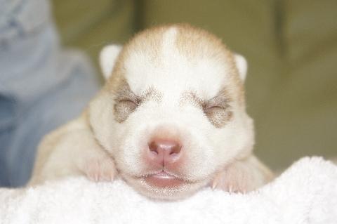 シベリアンハスキーの子犬の写真201303185