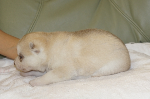 シベリアンハスキーの子犬の写真201303185-2