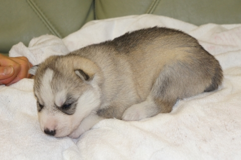 シベリアンハスキーの子犬の写真201303181-2