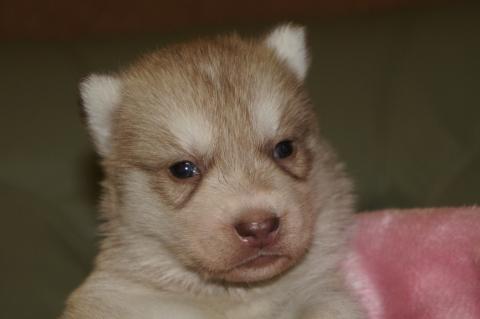 シベリアンハスキーの子犬の写真201303282