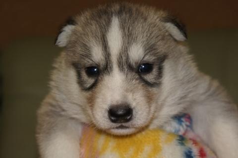 シベリアンハスキーの子犬の写真201303284