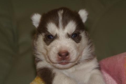 シベリアンハスキーの子犬の写真201304032