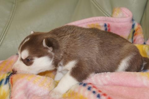 シベリアンハスキーの子犬の写真201304032-2