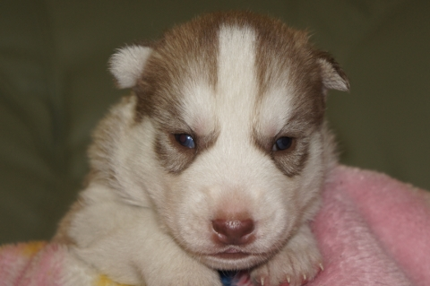 シベリアンハスキーの子犬の写真201304033